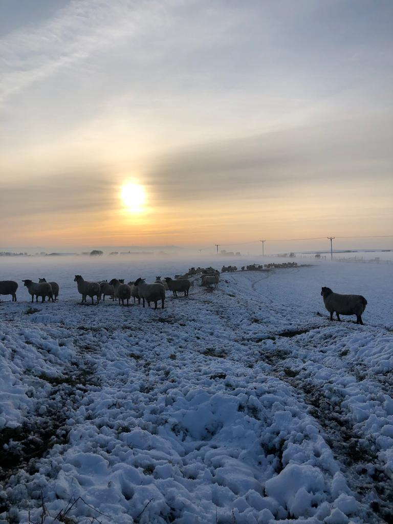 Sheep in the snow and sunset