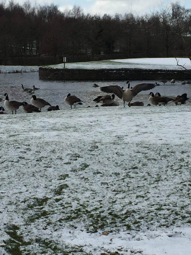 Willow Valley geese