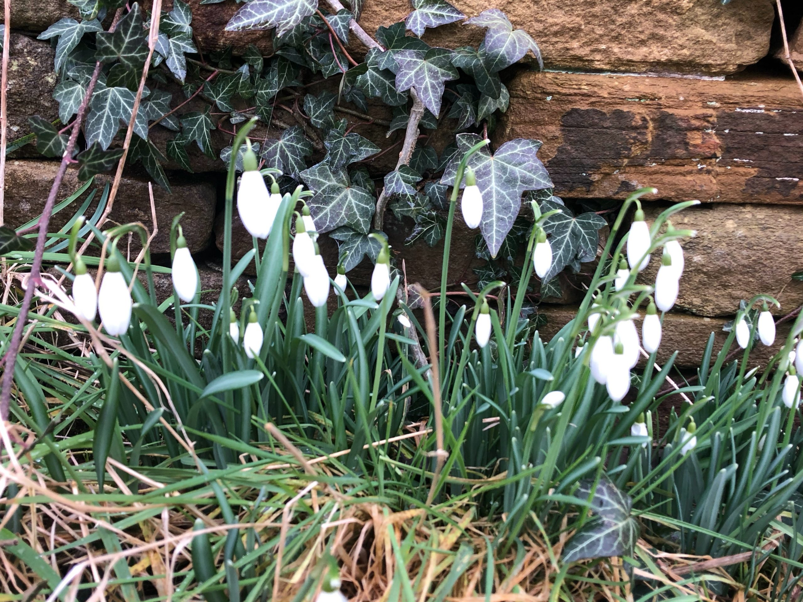 snowdrops on new street