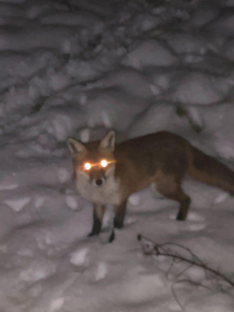 spooky fox