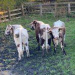 Clifton Common Cows