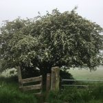 Thornhills Lane - early morning May mist