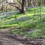Bluebells in Clifton Wood
